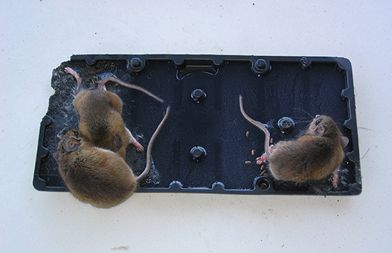 dålig lukt av död mus