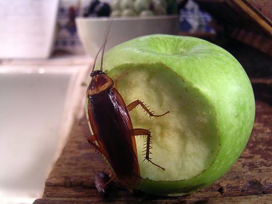 таракан на яблоке