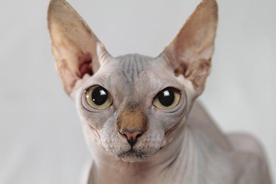 сфинкс - кошка без шерсти