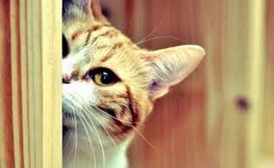 кот прячется за дверью