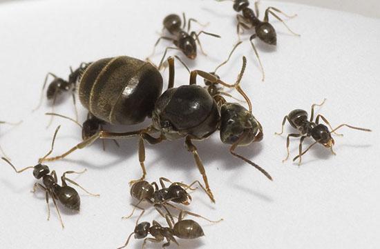 матка и колония муравьев