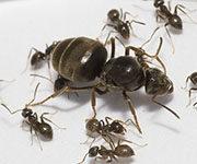 матка и муравьи