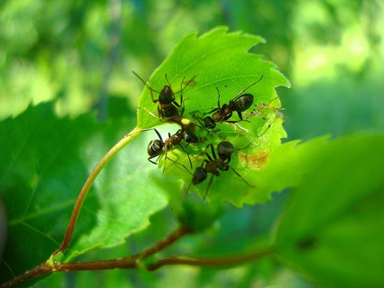муравьи на листе