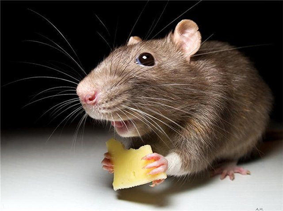мышь ест сыр