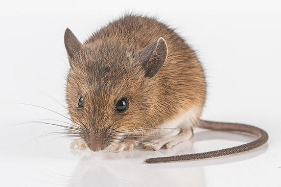 мышь в квартире