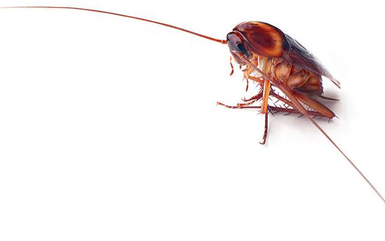 отравленный таракан