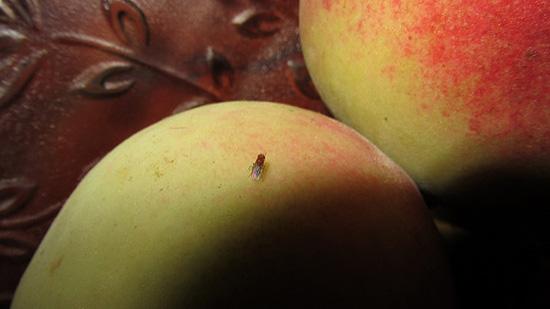 домашние мошки на яблоках
