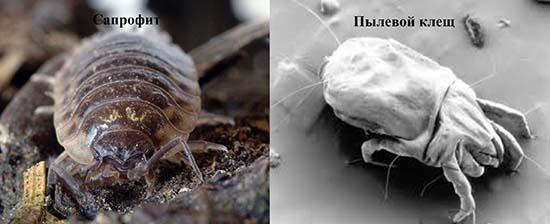 сапррфит и пылевой клещ
