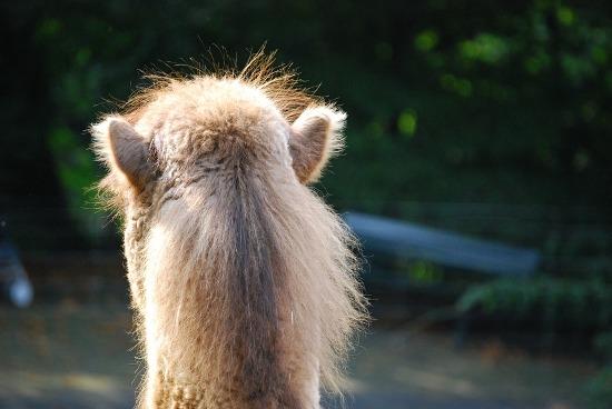 шерсть верблюда